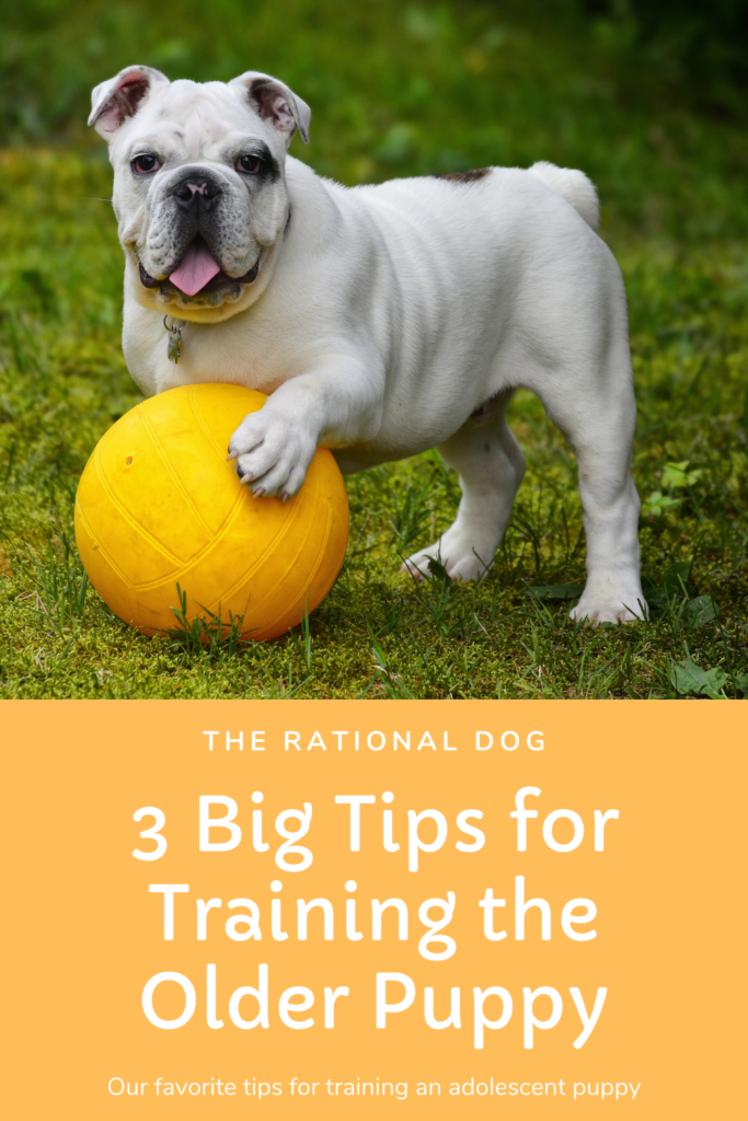 puppy training - training the older puppy