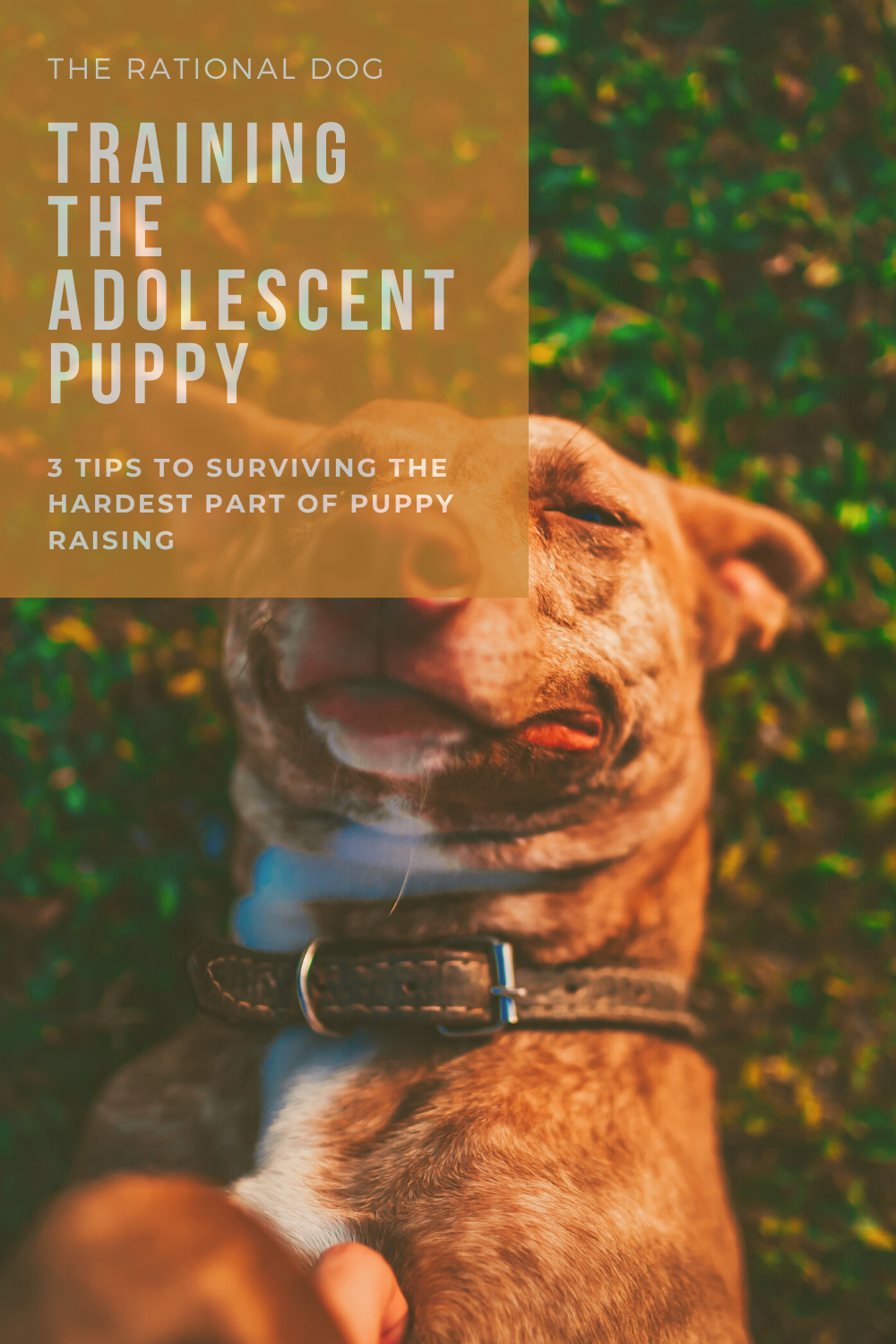 puppy training - training the adolescent dog